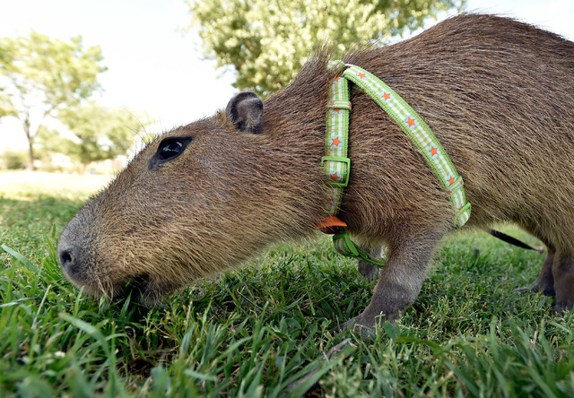JoeJoe, a 2-year-old pet capybara owned by Cody Kennedy, grazes on the grass at Sunset Park on Monday, April 20, 2015, in Las Vegas. JoeJoe, a resident of northern Arizona, has taken on a celebrit ...