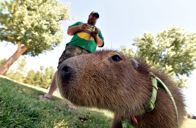 Cody Kennedy takes a photo of his 2-year-old pet capybara, JoeJoe, at Sunset Park on Monday, April 20, 2015, in Las Vegas. JoeJoe, a resident of northern Arizona, has taken on a celebrity status w ...