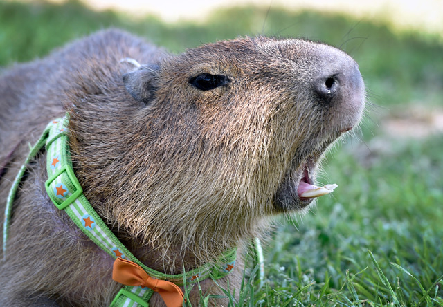 JoeJoe, a 2-year-old pet capybara owned by Cody Kennedy, yawns at Sunset Park on Monday, April 20, 2015, in Las Vegas. JoeJoe, a resident of northern Arizona, has taken on a celebrity status with  ...