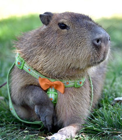 JoeJoe, a 2-year-old pet capybara owned by Cody Kennedy, looks on as his owner is interviewed at Sunset Park on Monday, April 20, 2015, in Las Vegas. JoeJoe, a resident of northern Arizona, has ta ...