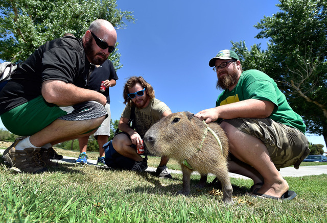 JoeJoe, a 2-year-old capybara, gets a pet from his owner Cody Kennedy, right, as John Hanahan, right looks on at Sunset Park on Monday, April 20, 2015, in Las Vegas. JoeJoe, a resident of northern ...