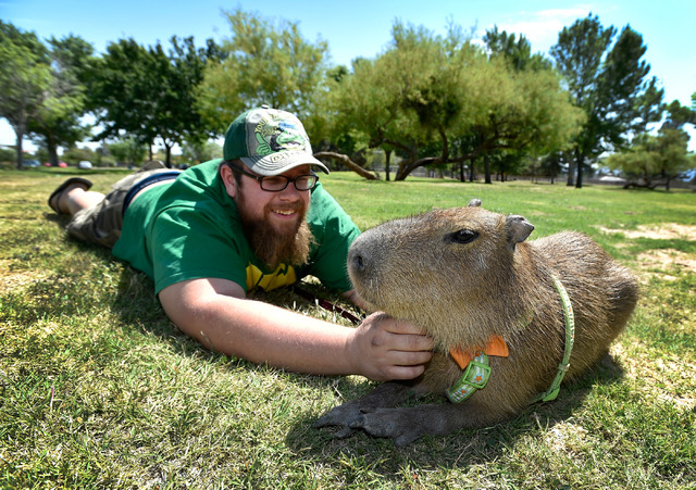 Cody Kennedy and his 2-year-old pet capybara, JoeJoe, hang out at Sunset Park on Monday, April 20, 2015, in Las Vegas. JoeJoe, a resident of northern Arizona, has taken on a celebrity status with  ...