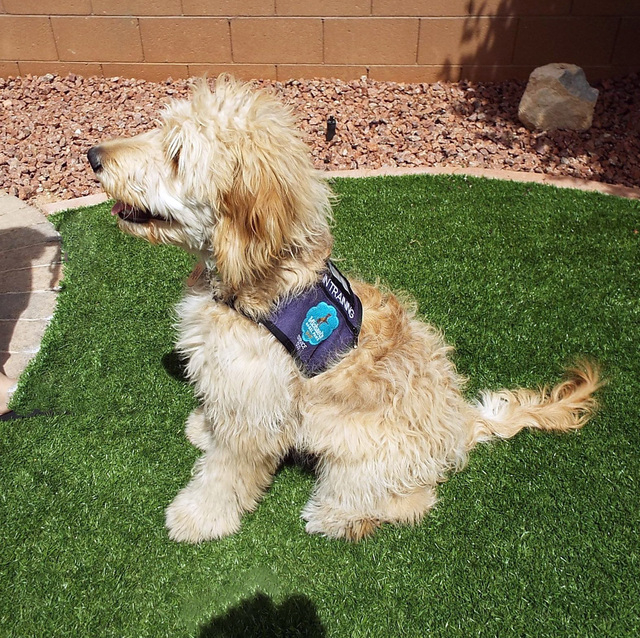 Summit, a golden retriever/poodle mix, was donated to Michael's Angel Paws by a breeder in California. (Diane Taylor/Special to View)