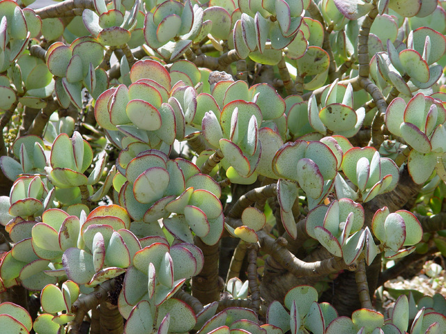 Tribune News Service Succulents with a large surface area often show their dehydration with fin ...