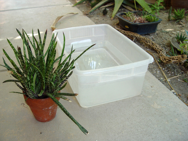 Tribune News Service Because succulents most often rot at the soil line due to surface water ap ...