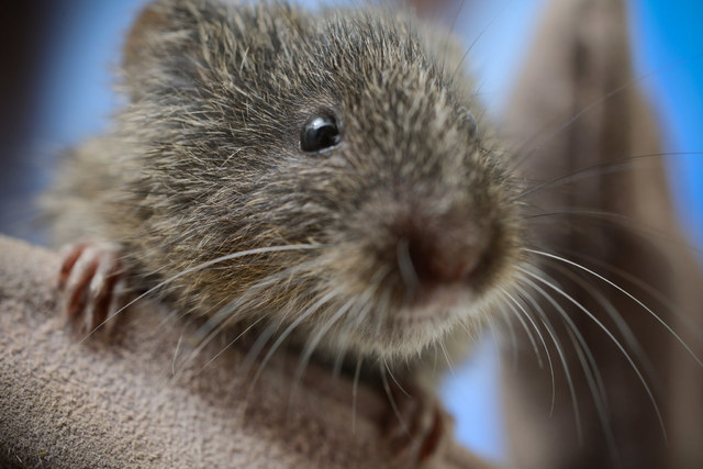 This animal is one of the first endangered Amargosa voles bred in captivity in fall 2014 by researchers at the University of California, Davis.  (Don Preisler/UC Davis)