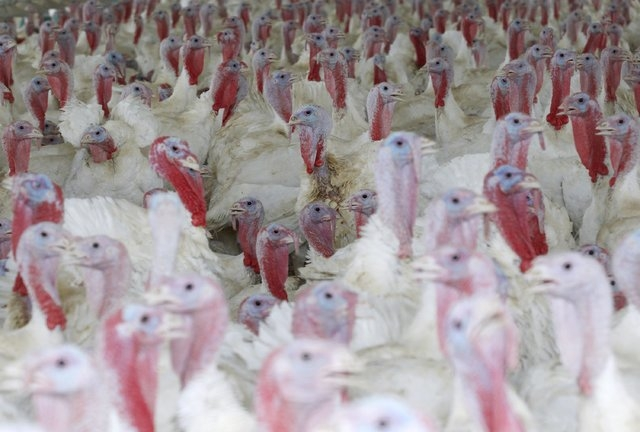 Turkeys are seen inside a shed in West Liberty, Iowa, United States, in this file photo taken July 7, 2011. The largest-ever U.S. outbreak of avian influenza, which has devastated Midwestern poult ...