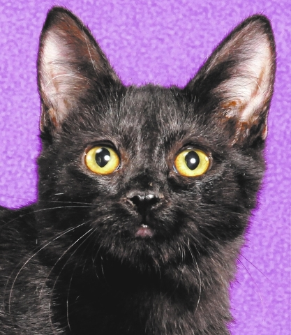 Frances, All Fur Love: Frances is a playful girl who favors playing with toys and enjoys being held. Frances was born July 10, 2014, and is spayed, current on vaccines, FeLV/FIV-negative and micro ...