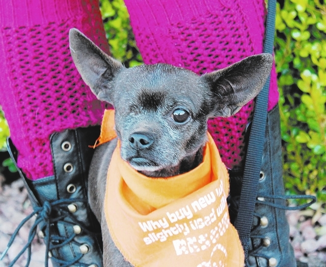 Macho Comacho, Animal Network: It's a big world, and that big world can be very intimidating to such a little dog! Macho Comacho is friendly, but he can be shy at first, and it may take him a fe ...