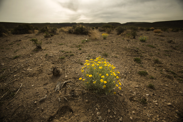 Desert poppy is seen Wednesday, May 20, 2015, near the White River Narrows area, about 130 miles north of Las Vegas. Over 800,000 acres in central Nevada is proposed as the Basin and Range Nationa ...