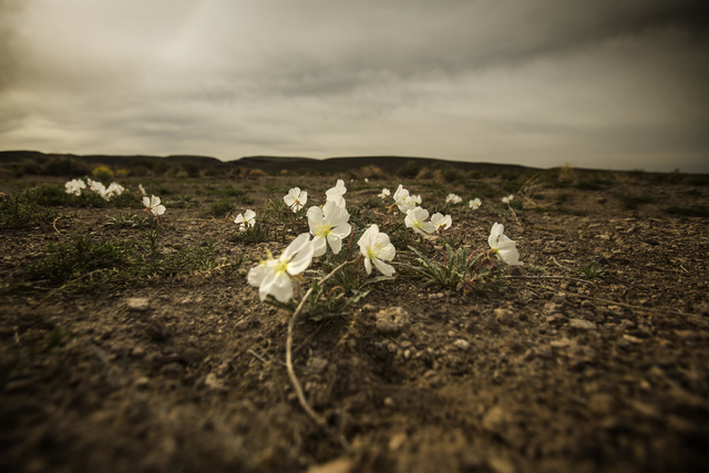 Evening primrose is seen Wednesday, May 20, 2015, near the White River Narrows area, about 130 miles north of Las Vegas. Over 800,000 acres in central Nevada is proposed as the Basin and Range Nat ...