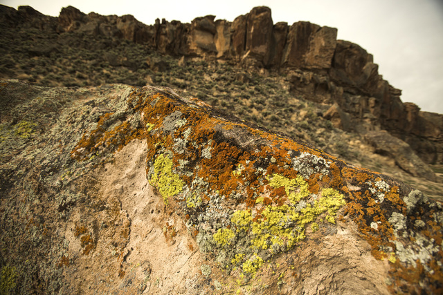 Lichen is seen Wednesday, May 20, 2015,  in the White River Narrows area, about 130 miles north of Las Vegas. Over 800,000 acres in central Nevada is proposed as the Basin and Range National Monum ...