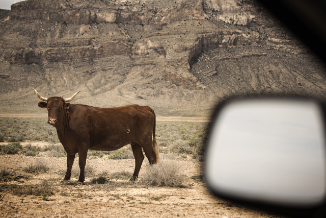 A cow is seen  Wednesday, May 20, 2015, in Coal Valley, a three-hour drive north of Las Vegas. Over 800,000 acres in central Nevada is proposed as the Basin and Range National Monument. (Jeff Sche ...