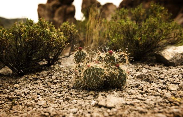 A blooming cactus is seen Wednesday, May 20, 2015, in Garden Valley, over a three-hour drive north of Las Vegas. Over 800,000 acres in central Nevada is proposed as the Basin and Range National Mo ...