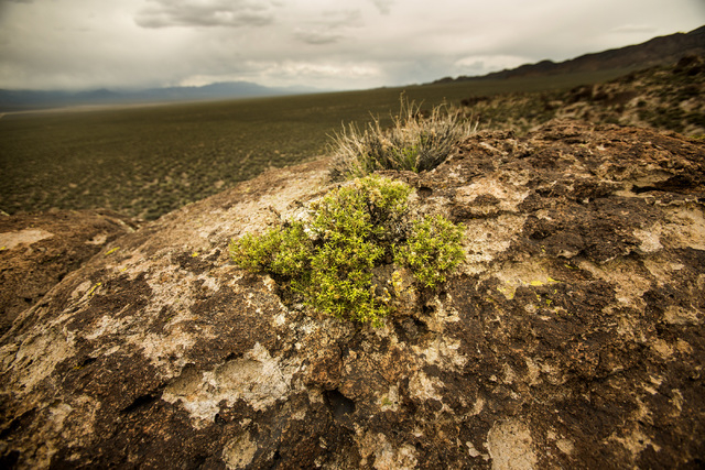 Vegetation growing on a rock formation in Garden Valley, over a three-hour drive north of Las Vegas, on Wednesday, May 20, 2015. Over 800,000 acres in central Nevada is proposed as the Basin and R ...