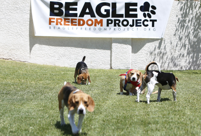Beagles Las Vegas Goldenacresdogs