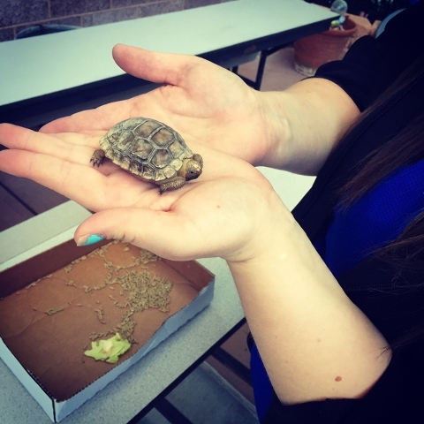 A 1-year-old tortoise is displayed for students at Thiriot Elementary School May 19, 2015. (Special to View)