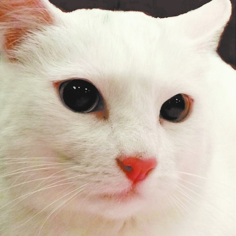 Snow, Happy Home: Snow is a gorgeous, white 1½-year-old. She's active and playful like a kitten but will also sit on your lap. She gets along with dogs but would prefer to be the only kitty. Sh ...