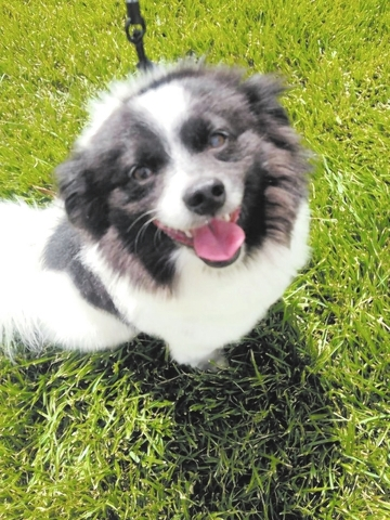 Paco, Home 4 Spot: Paco is a 2-year-old 12-pound Pomeranian mix found as an injured stray. Vets said Paco had two pelvic fractures caused by extreme trauma. Now he's cleaned up, super clean and  ...
