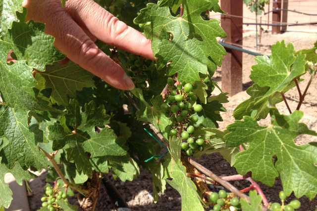 Marc Orenstein shows the grape vines that he grows at his home in Las Vegas on Tuesday, May 12, 2015. (Sandy Lopez/View)