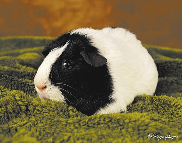 Bel-Air, NSPCA: Your kindness means the world to me. I enjoy peaceful time at your side and relish my daily salads. I am Bel-Air, a young American guinea pig, a boy, 1 year of age. Will you please ...