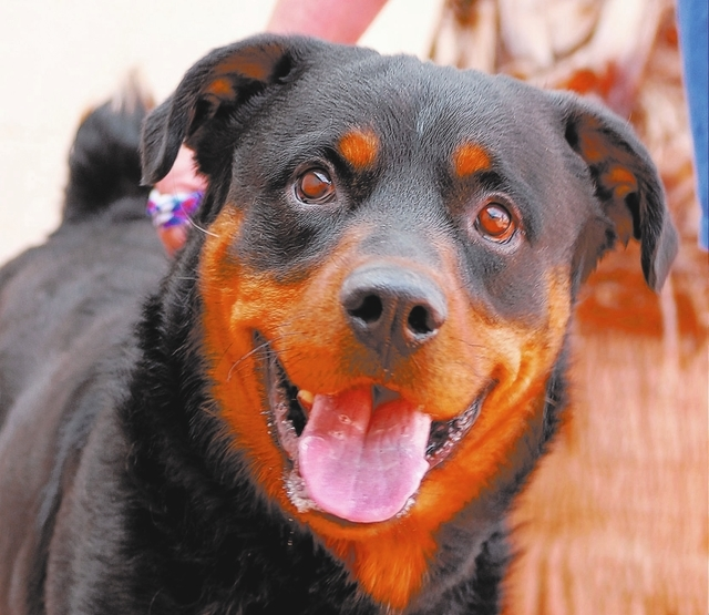 Nero, Nevada SPCA: I used to fear humans, but now I look up to kind people with a heart full of love and appreciation. My name is Nero, and I am a young Rottweiler, 3 years of age, neutered and go ...