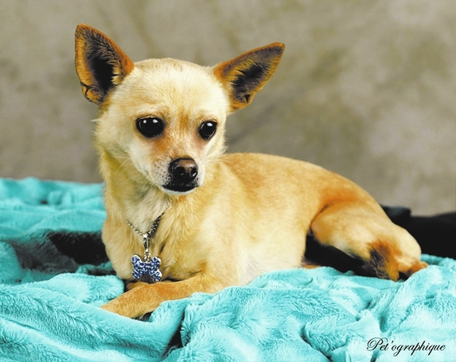 Milo, Southern Nevada Beagle Rescue: Milo is a 3-year-old male Chihuahua looking for a forever home. He ended up at a kill shelter where he was going to be put down for being scared. He gets along ...