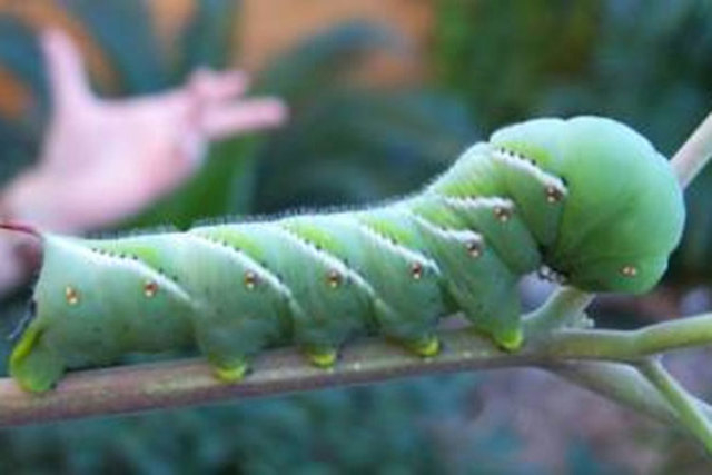 The Dreaded Tobacco Hornworm Is The Caterpillar Offspring From The Hawk  Moth. It Is Very