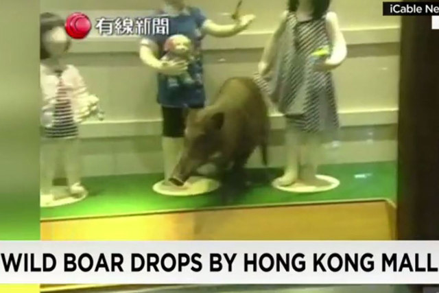 A wild boar dropped into a a children's clothing store in Hong Kong. (Screengrab/CNN)