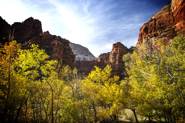 Leaves turning at  Zion National Park on Saturday, Nov.8, 2014. (Jeff Scheid/Las Vegas Review-Journal)