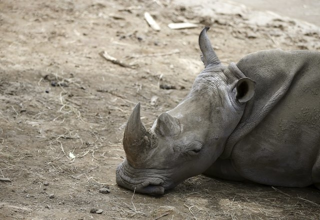 A rhinoceros lies inside its enclosure at a zoo in Tbilisi, Georgia, June 17, 2015. Tigers, lions, bears and wolves were among more than 30 animals that escaped from a Georgian zoo and onto the st ...