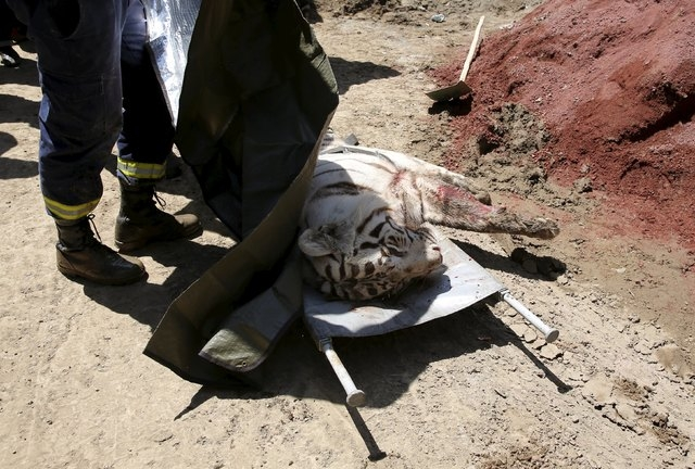 A white tiger, that had escaped from its enclosure during flooding, lies on the stretchers after it was killed by police in Tbilisi, Georgia, June 17, 2015. Tigers, lions, bears and wolves were am ...