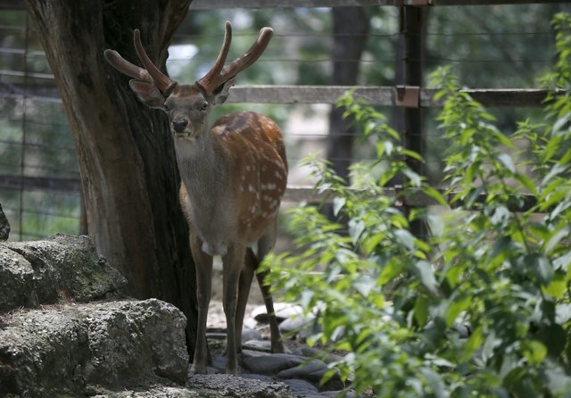 A deer is seen inside its enclosure at the zoo in Tbilisi, Georgia, June 17, 2015. Tigers, lions, bears and wolves were among more than 30 animals that escaped from a Georgian zoo and onto the str ...