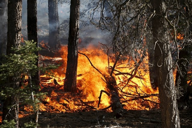 A wildfire burns through the trees near Jenks Lake in the San Bernardino National Forest, California, United States, June 18, 2015. Wildfires raging in three West Coast states have forced more tha ...