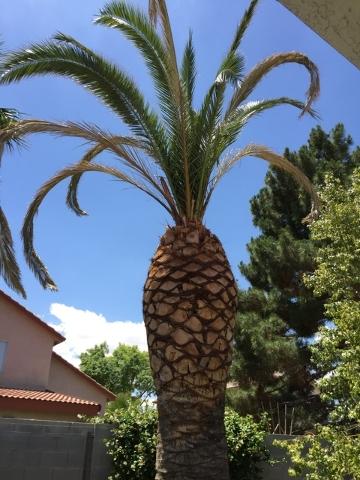 Canary Island Pine Diseases