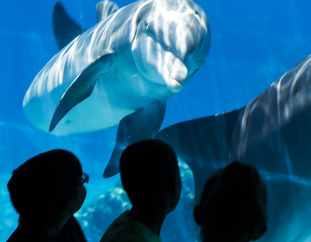 Students from Joseph E. Thiriot Elementary School view dolphins at Siegfried & Roy's Secret Garden & Dolphin Habitat, Friday, May 29, 2015, at The Mirage.(Jeff Scheid/Las Vegas Review-Journal) Fol ...