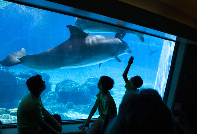 Students from Joseph E. Thiriot Elementary School view dolphins at Siegfried & Roy's Secret Garden & Dolphin Habitat, Friday, May 29, 2015, at The Mirage. (Jeff Scheid/Las Vegas Review-Journal) Fo ...
