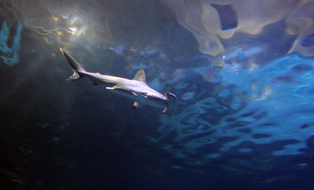 A Scalloped Hammerhead shark joins the lineup at Mandalay Bay's Shark Reef aquarium. (Courtesy)