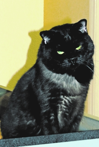 Harley, FUPI:  Meet Harley (Buddy) Budinski. One of the coolest cats around, he purrs like a Harley motor. He is best as an only cat and will make a good guard cat. He comes on his own terms, but  ...