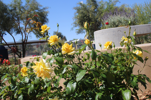The University Of Nevada Cooperative Extension Demonstration And Test  Gardens Have Examples Of Rose Varieties That