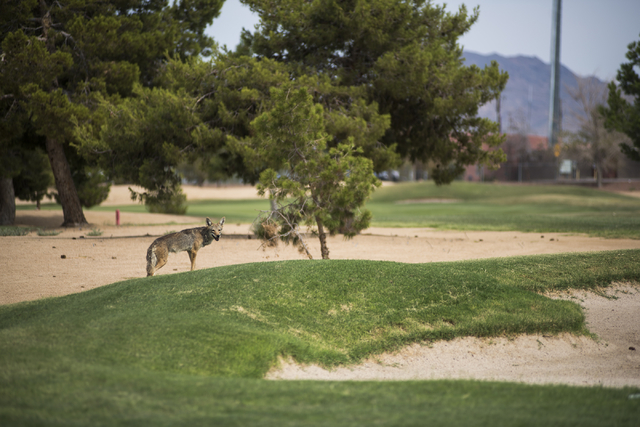A desert coyote is seen at Black Mountain golf course in Henderson on Friday, June 26, 2015. Due to the heat, only the brave come out to play. (Martin S. Fuentes/Las Vegas Review-Journal)