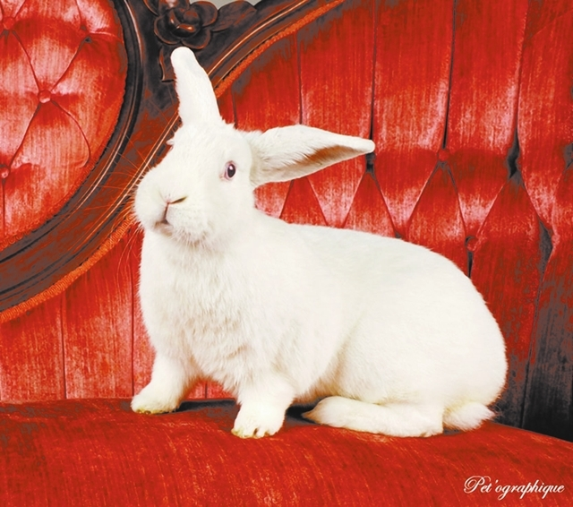 Tabitha, Nevada SPCA:  I adore getting ear rubs, exploring new rooms and enjoying my daily salads of fresh greens and veggies. I am Tabitha, a spunky Florida white bunny, 2 years young and spayed. ...