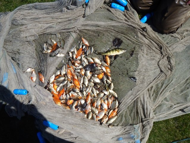Officials in Alberta, Canada, say dumping of live goldfish into the ecosystem has resulted in freakishly large fish. The invasive species has no natural predator and is thriving in poor water cond ...