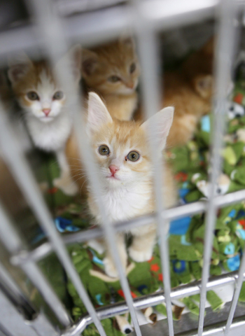 One-month-old kittens are shown in a kennel at Lied Animal Shelter operated by The Animal Foundation, located at 655 N. Mojave Road Tuesday, July 1, 2014, in Las Vegas. (Ronda Churchill/Las Vegas  ...