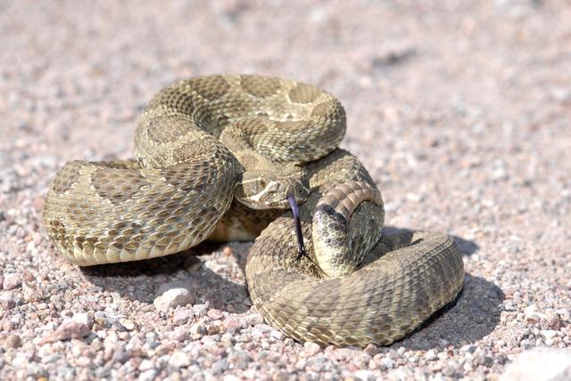 Arizona Mojave Rattlesnake (Thinkstock)