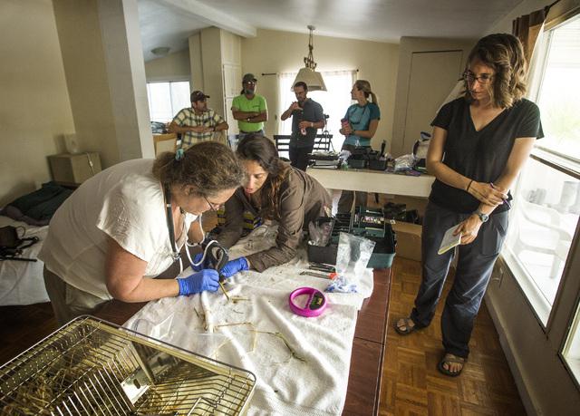 University of California, Davis veterinary professor Janet Foley, left, and graduate student Risa Pesapane place a tracking monitor on an Amargosa vole, Thursday, June 25, 2015, in Shoshone, Calif ...