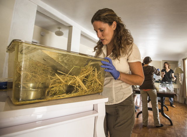 Deana Clifford, wildlife veteran for California Department of Fish and Wildlife monitors, an Amargosa vole Thursday, June 25, 2015, in Shoshone, Calif. Twelve endangered voles were set free at a s ...