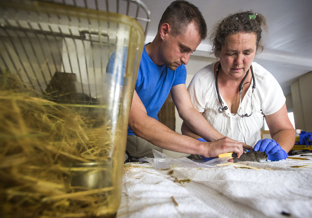 California Department of Fish and Wildlife science aide Nicholas Shirkey, left, and University of California, Davis veterinary professor Janet Foley place an identification chip in an Amargosa vol ...