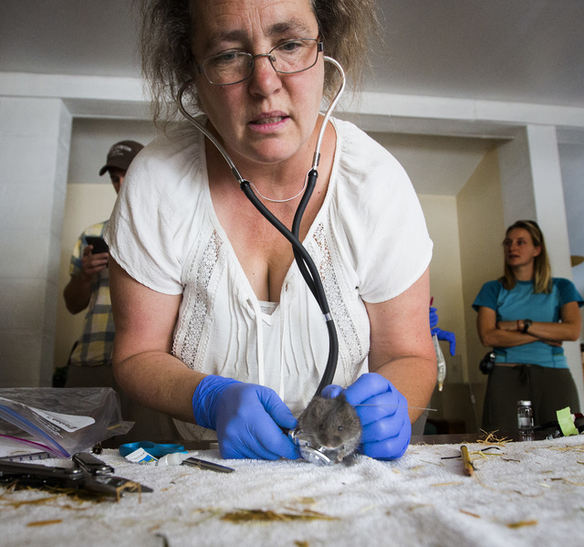 University of California, Davis veterinary professor Janet Foley places a tracking monitor on an Amargosa vole, Thursday, June 25, 2015, in Shoshone, Calif. Twelve endangered voles were set free a ...