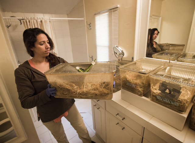 University of California, Davis graduate student Risa Pesapane carries a cage containing Amargosa voles on Thursday, June 25, 2015, in Shoshone, Calif. Twelve endangered voles were set free at a s ...